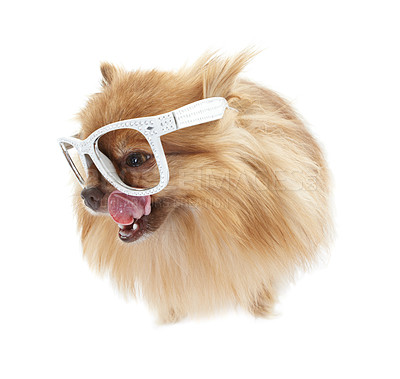 Buy stock photo Cute pomeranian wearing comical white-rimmed glasses looking out of the frame with its tongue extended