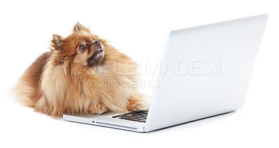 Buy stock photo Pomeranian dog lying in front of a laptop