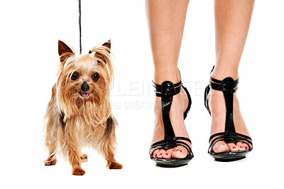 Buy stock photo Closeup of a Yorkshire terrier standing next a woman wearing high heels