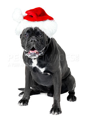 Buy stock photo A Boxer wearing a Santa hat
