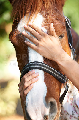 Buy stock photo A chestnut horse fitted with a halter being rubbed by its rider