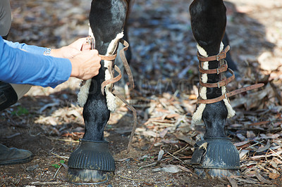 Buy stock photo Cropped image of protective tendon boots being tied to a horse's legs