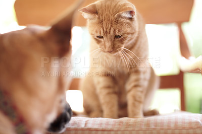 Buy stock photo An adorable ginger tabby sitting on a chair looking down at a German Shepherd