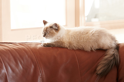 Buy stock photo A fluffy siamese cat taking a nap on a sofa