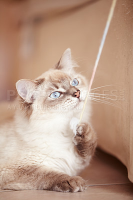Buy stock photo A closeup shot of a young siamese cat playing with a string on the living room floor