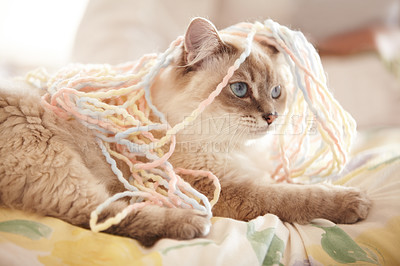 Buy stock photo An adorable closeup shot of a siamese cat covered in yarn lying on a bed