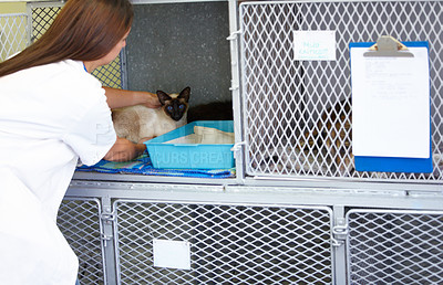 Buy stock photo A female vet carefully putting a Siamese cat patient into it's cage