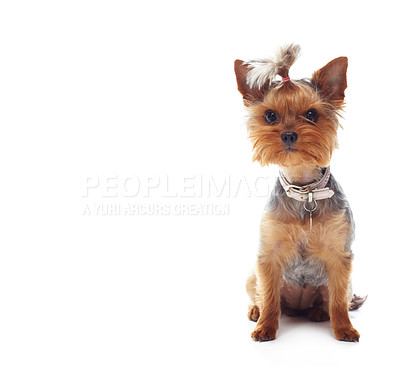 Buy stock photo Studio shot of a cute terrier sitting on the floor isolated on white