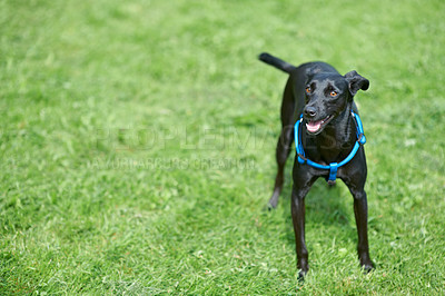 Buy stock photo A happy black canine standing in the lawn