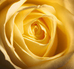 A close-up photo of a yellow rose