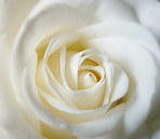 A close-up photo of a white rose
