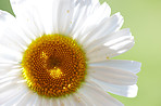 A close-up and very detailed photo of a chamomile flower