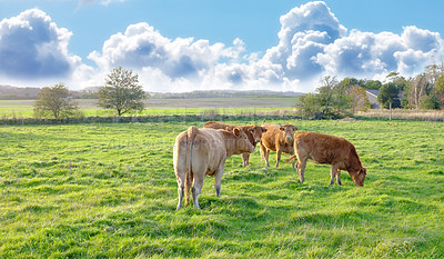 Buy stock photo A photo of cows in New Zealand