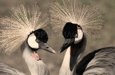 Buy stock photo African Crowned Crane