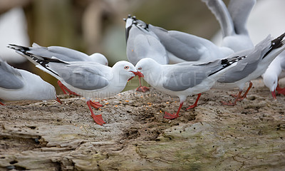 Buy stock photo A photo of seagulls in New Zealand