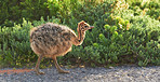 Ostrich chick on the go