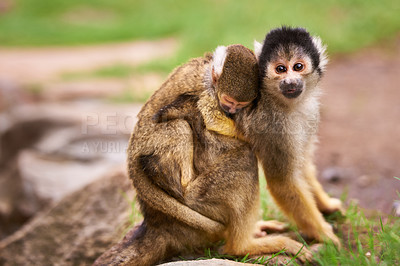 Buy stock photo Shot of a cute little monkey carrying her baby