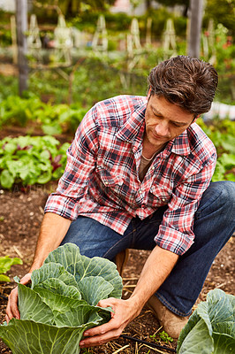 Buy stock photo Shot of a man examining a cabbage while kneeling in his organic garden
