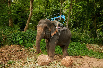 Buy stock photo Shot of an asian elephant with a seat tied to its back