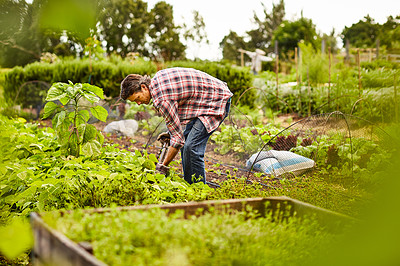 Buy stock photo Shot of a mature man working alone in his organic vegetable garden