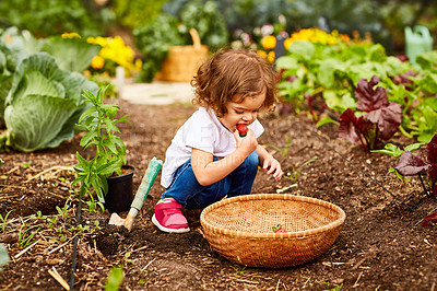 Buy stock photo Shot of a cute little girl crouching in an organic garden eating strawberries from a basket