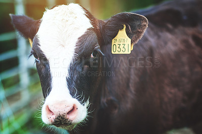 Buy stock photo Shot of a cow on a dairy farm