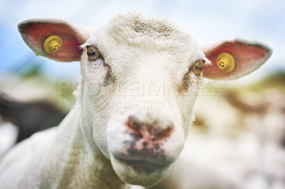 Buy stock photo Cropped shot of sheep on a farm