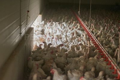 Buy stock photo Shot of a large flock of chicken hens all together in a big warehouse on a farm