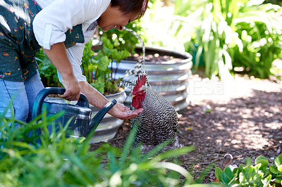 Buy stock photo Shot of a mature woman giving her pet chicken water in her garden at home
