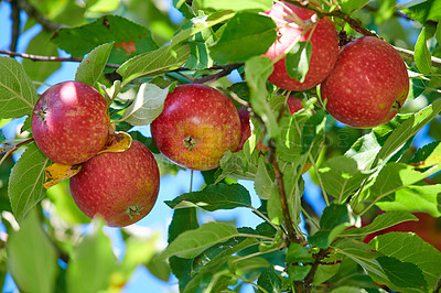 Buy stock photo A photo of tasteful and beautiful apples