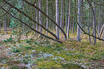 Pine trees in Denmark