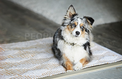 Buy stock photo Shot of an adorable Australian shepherd dog sitting on the floor at home