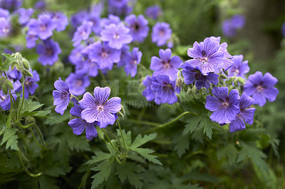 Buy stock photo Geranium - a beautiful flower in the garden
