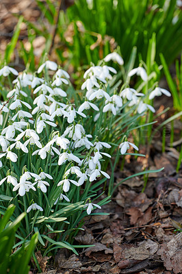 Buy stock photo Galanthus nivalis was described by the Swedish botanist Carl Linnaeus in his Species Plantarum in 1753, and given the specific epithet nivalis, meaning snowy (Galanthus means with milk-white flowers).