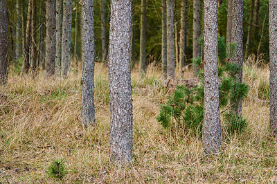 Buy stock photo Pine trees - slim and proud
