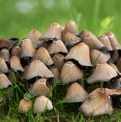 Buy stock photo Coprinopsis atramentaria, commonly known as the common ink cap or inky cap, is an edible mushroom found in Europe and North America.Coprinopsis atramentaria, commonly known as the common ink cap or inky cap, is an edible mushroom found in Europe and North America.