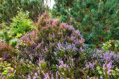 Buy stock photo Blooming heather in wild forest - Denmark
