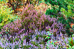 Blooming heather