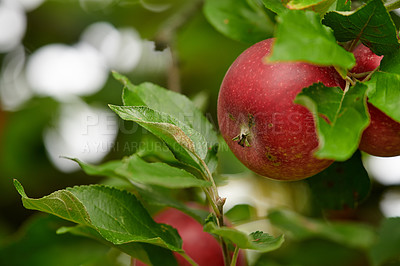 Buy stock photo A photo of taste and beautiful red apples