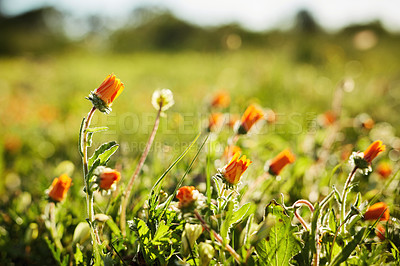 Buy stock photo Still life shot of a field of blossoming orange daisies during the day