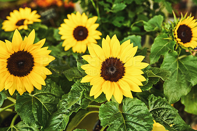 Buy stock photo Still life shot of a bunch of beautiful sun flower plants at a marketplace in Paris, France