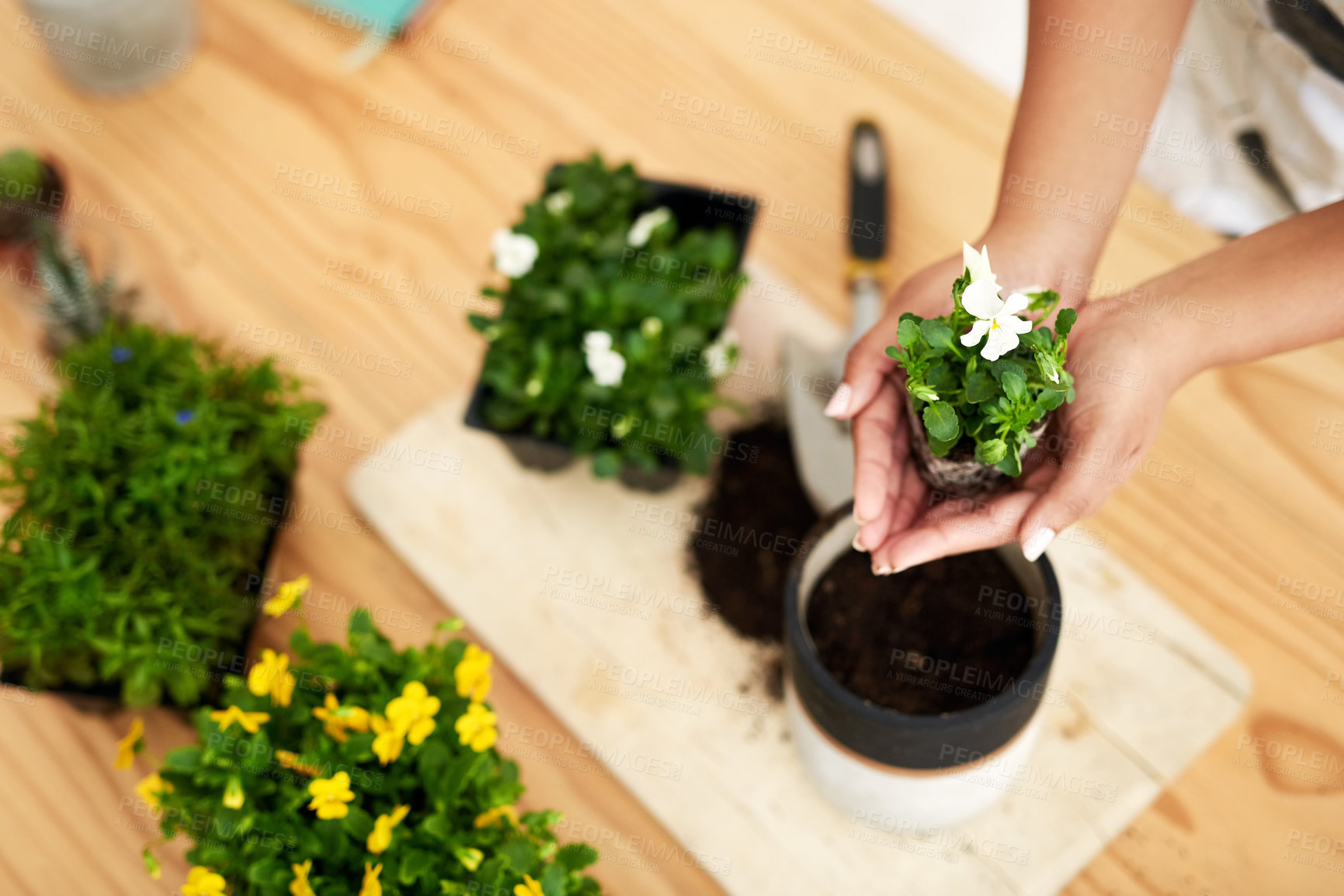 Buy stock photo High angle shot of an unrecognizable young female botanist potting plants while working in her florist