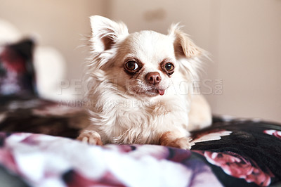 Buy stock photo Shot of an adorable dog sitting on the bed