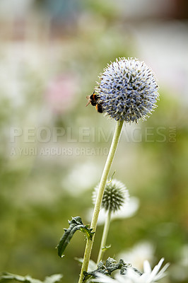 Buy stock photo Blue Globe Thistle Flowers, known as Echinops and stalwart perennial. Latin: Echinops exaltatus