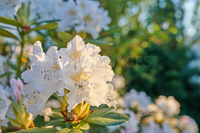 Buy stock photo A series of white Rhododendron in my garden