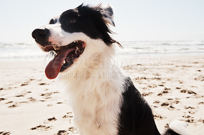 Buy stock photo Shot of an adorable Border Collie at the beach