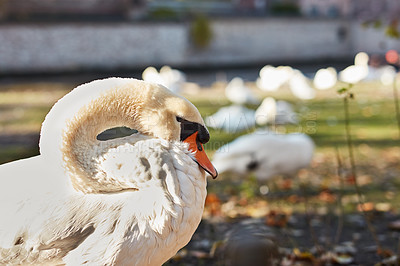 Buy stock photo Cropped shot of a swan enjoying the sunshine during a day out in Bruges