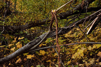 Buy stock photo Shot of a broken tree branch caused by a bull elk marking it's territory in a forest outdoors in nature