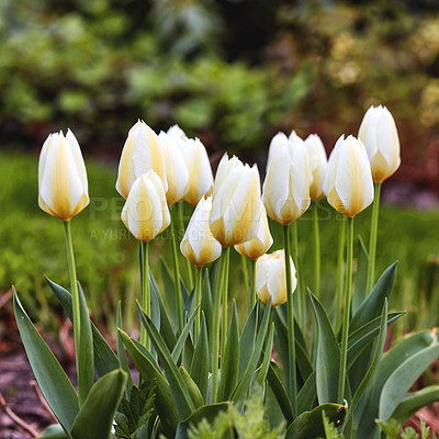 Buy stock photo A photo of beautiful tulips in the garden in early springtime