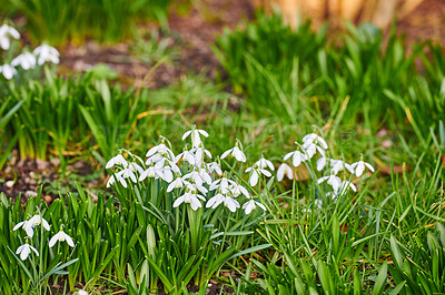 Buy stock photo Galanthus nivalis was described by the Swedish botanist Carl Linnaeus in his Species Plantarum in 1753, and given the specific epithet nivalis, meaning snowy (Galanthus means with milk-white flowers). T